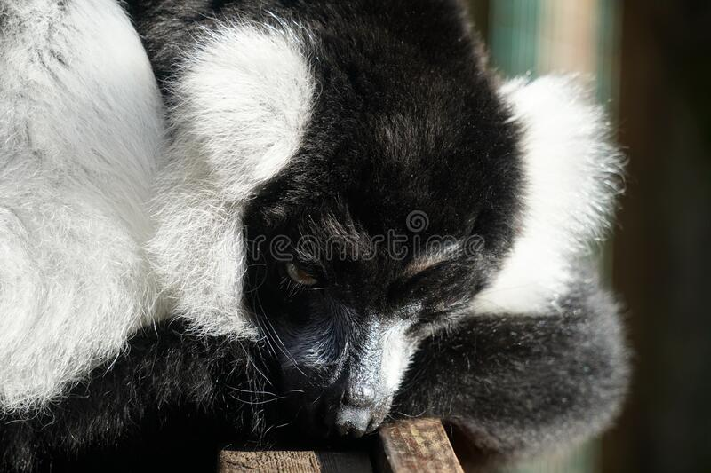 Black and white ruffed lemur looking out at the world. Black and white ruffed lemur waiting for their next meal royalty free stock photography