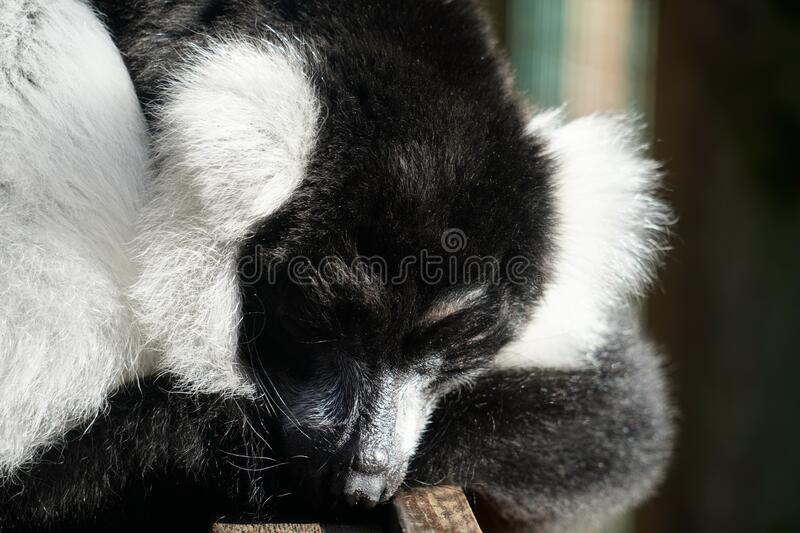 Black and white ruffed lemur looking out at the world. Black and white ruffed lemur waiting for their next meal royalty free stock photo