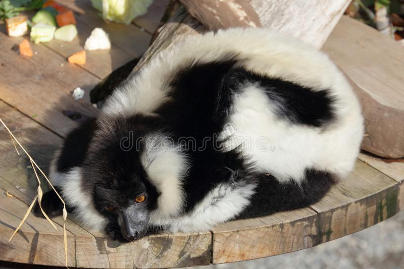 Black and White Ruffed Lemur relaxes stock image