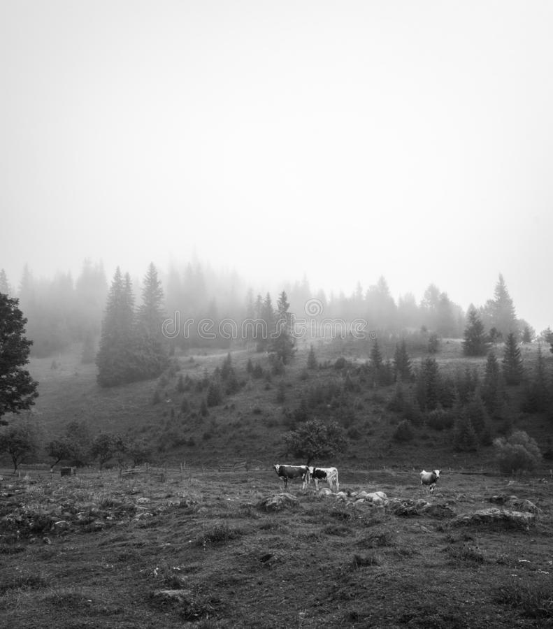 Black and white scenery of the foggy morning hills with cows royalty free stock photography