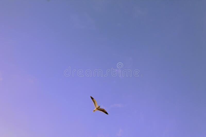 Black and White Seagull Flying during Day Time royalty free stock photo