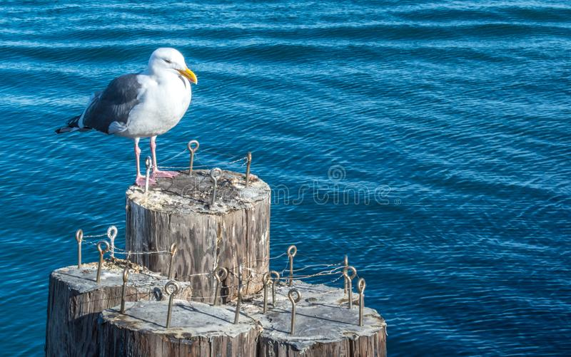 Black and white seagull on wooden pilings stock photo