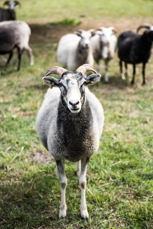 Black white sheep front portrait. Animal, farm, lamb, grass, wool, field, agriculture, mammal, farming, nature, green, livestock, animals, meadow, flock royalty free stock photography