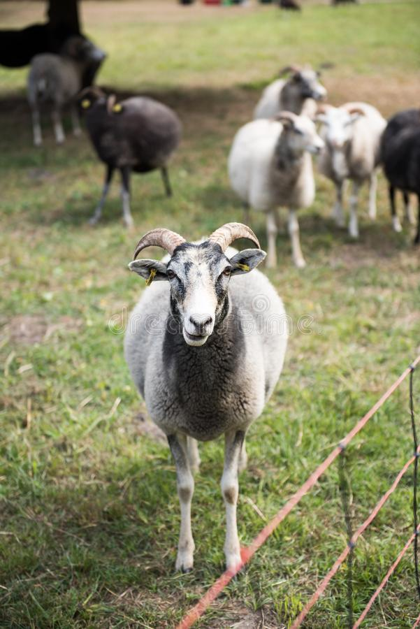 Black white sheep front portrait. Animal, farm, lamb, grass, wool, field, agriculture, mammal, farming, nature, green, livestock, animals, meadow, flock royalty free stock images