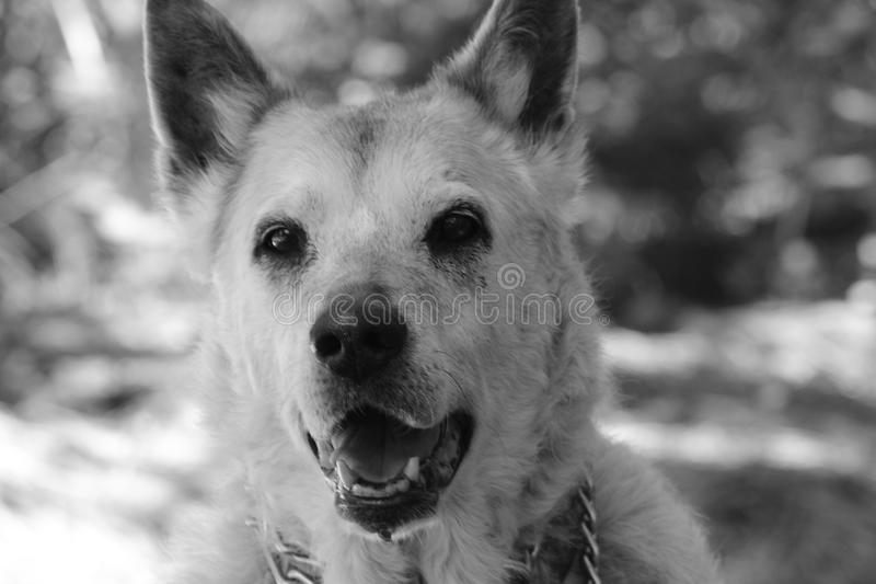 Black and White Sheppard mix royalty free stock images