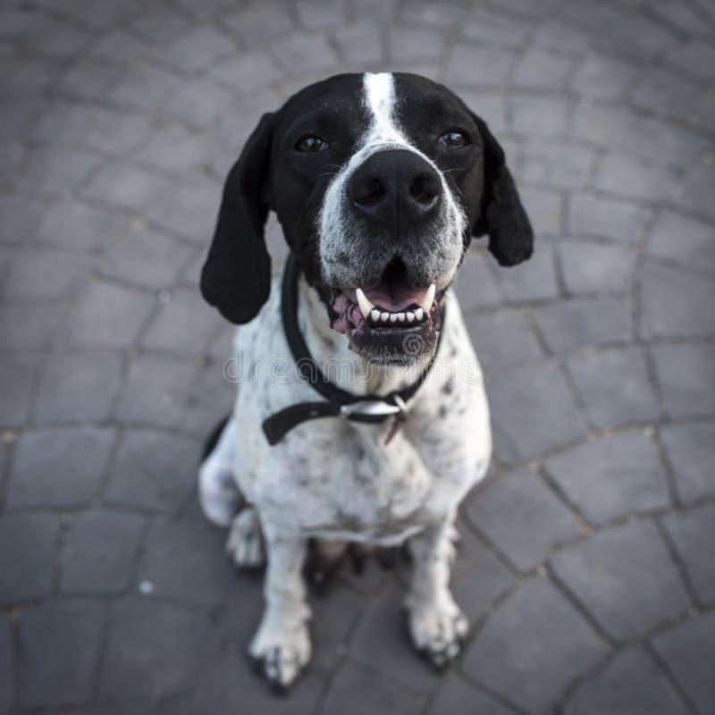 Black And White Short Coat Dog Closeup Photography Free Public Domain Cc0 Image