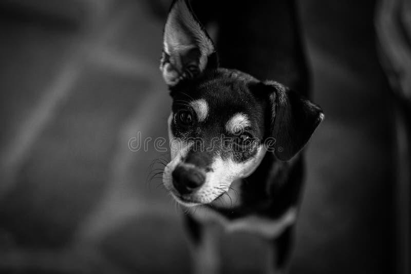 Black And White Short Coated Dog Free Public Domain Cc0 Image