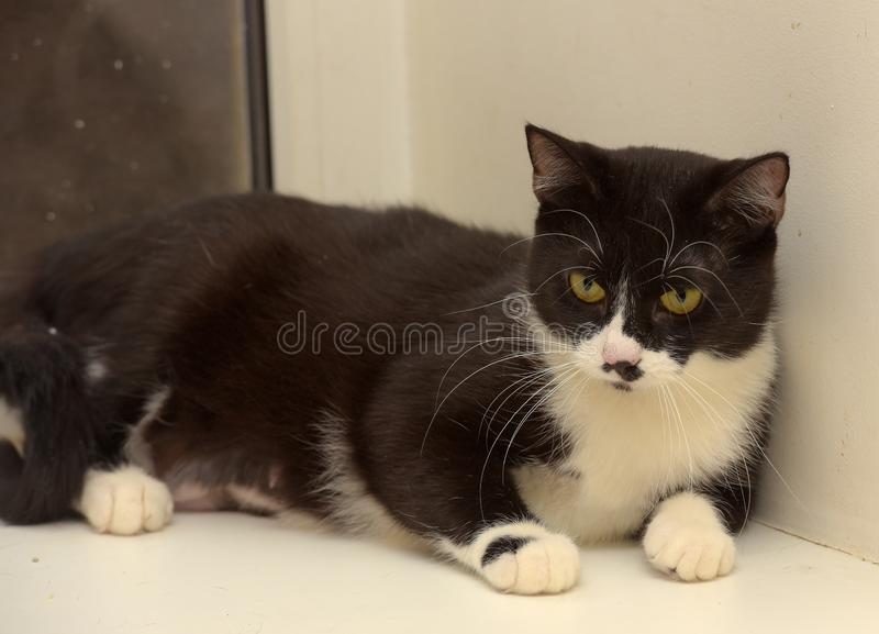 Black and white shorthair cat royalty free stock images