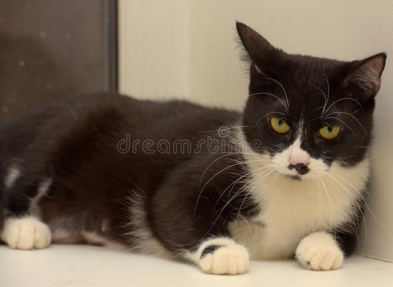 Black and white shorthair cat royalty free stock image