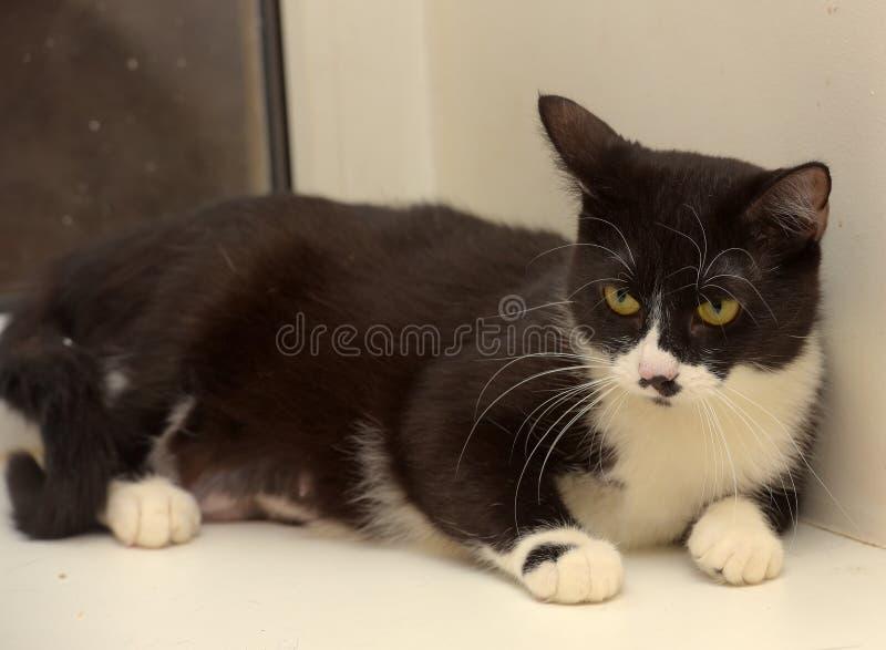 Black and white shorthair cat stock photo