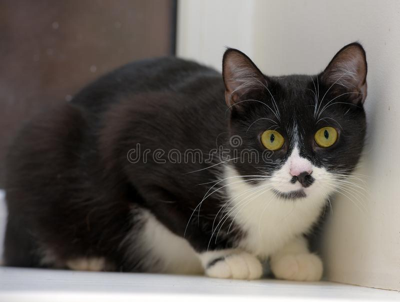 Black and white shorthair cat stock photography