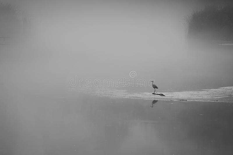 Black and white shot with a bird sitting alone on a lake surrounded by thick fog stock photos