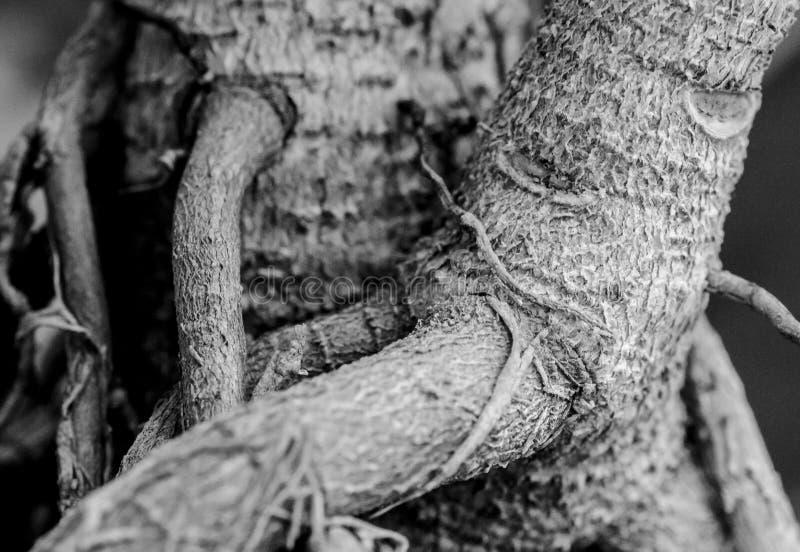 Closeup shot of bonsai tree trunk royalty free stock photo