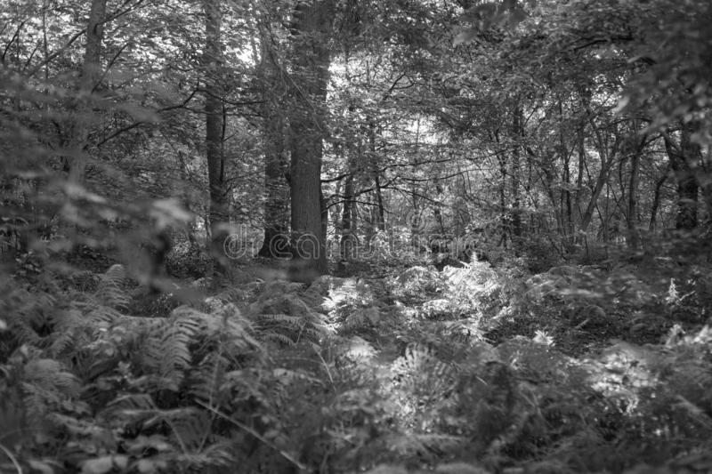 Black and white shots of a  beautiful old forest in Germany. Black and  white shots of a beautiful old forest in Germany stock photo
