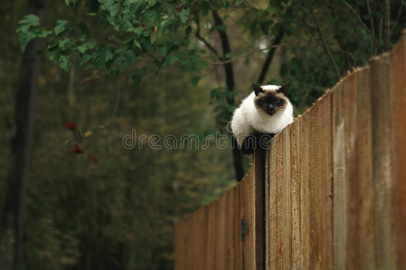 Black and white Siamese cat sitting on a wooden fence in the autumn forest royalty free stock photos