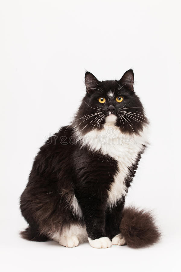 Black and white siberian cat stock image
