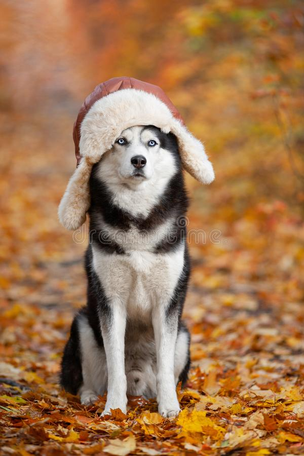 Black and white Siberian Husky dog in a hat with earflaps sitting in yellow autumn leaves royalty free stock photos