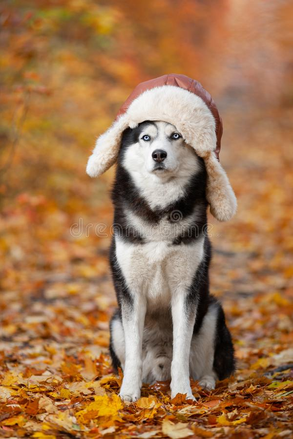 Black and white Siberian Husky dog in a hat with earflaps sitting in yellow autumn leaves stock photography