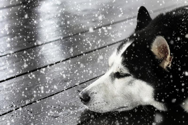 Black and white siberian husky sleeps under running snow on a wooden terrace stock photography