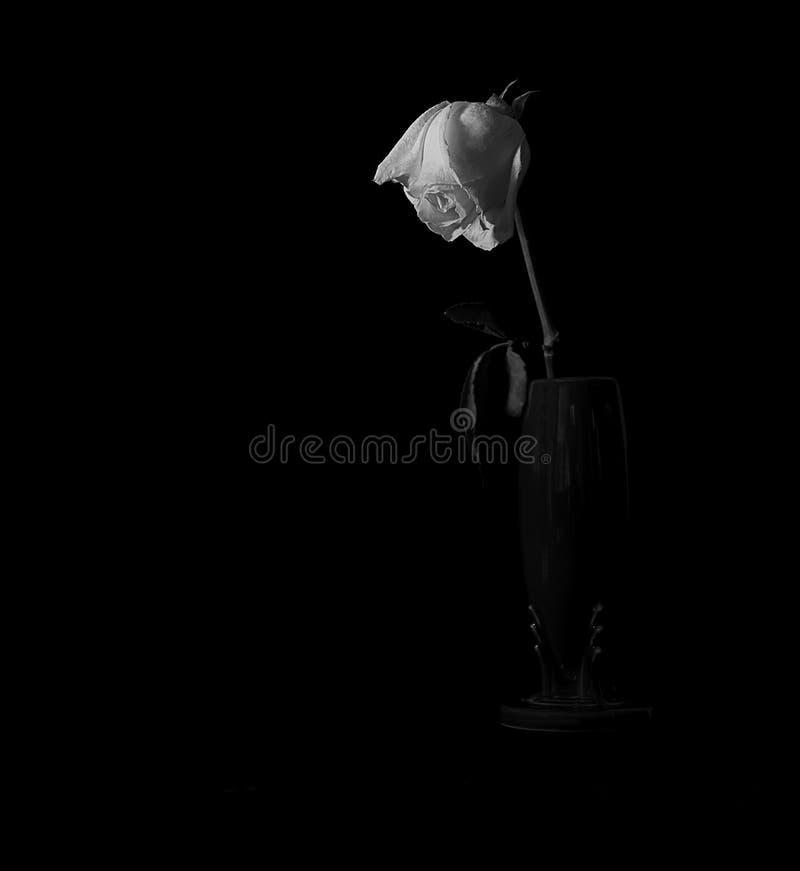 Single White Rose In Vase Against Black stock photos