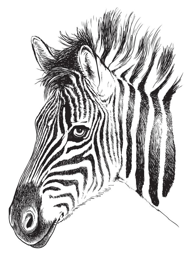 Black and white sketch of a young Zebra's face vector illustration