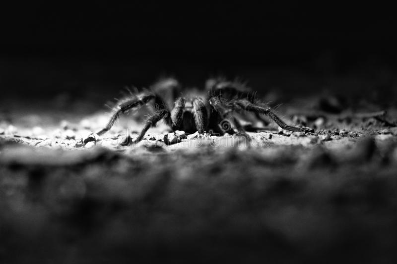 Black and white Spider royalty free stock photo
