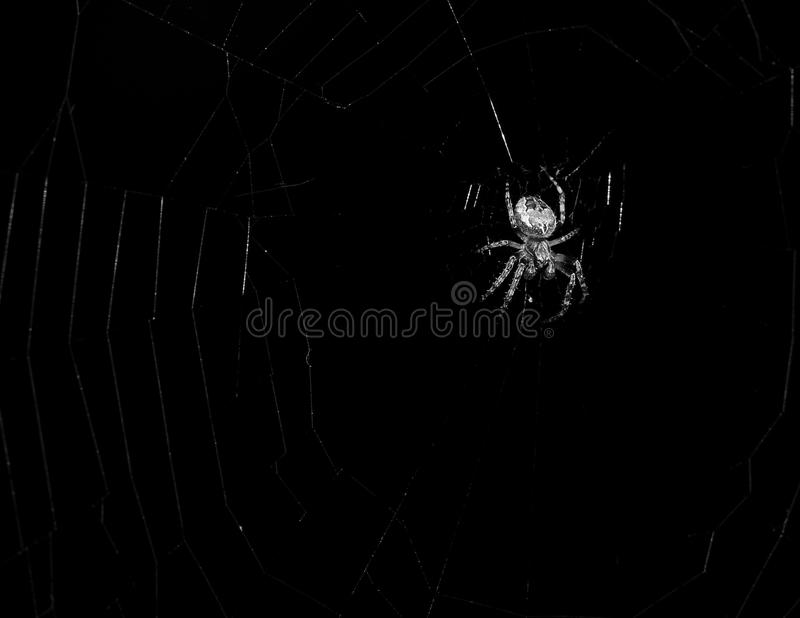Black and white spider. In its web stock photos