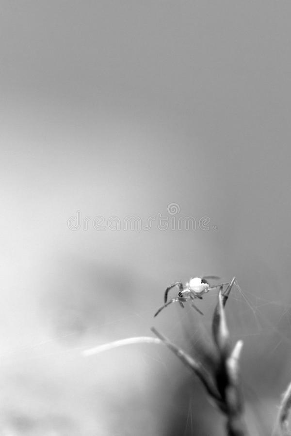 Black and white spider photography. On plants outside macrophotography grey stock images
