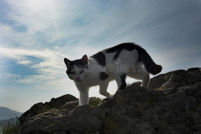 Cat. Black and white spotted cat on the rock on mountain under blue sky. Climber cat royalty free stock image