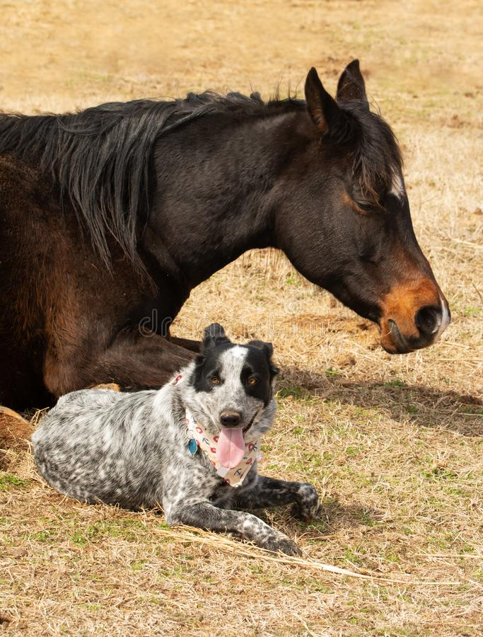 Black and white spotted dog lying down next to her sleeping Arabian horse friend. In sunny winter pasture royalty free stock images