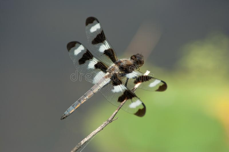 Black and White Spotted Dragonfly. Macro of black and white 12 spotted dragonfly. Nice blue and green background stock photo
