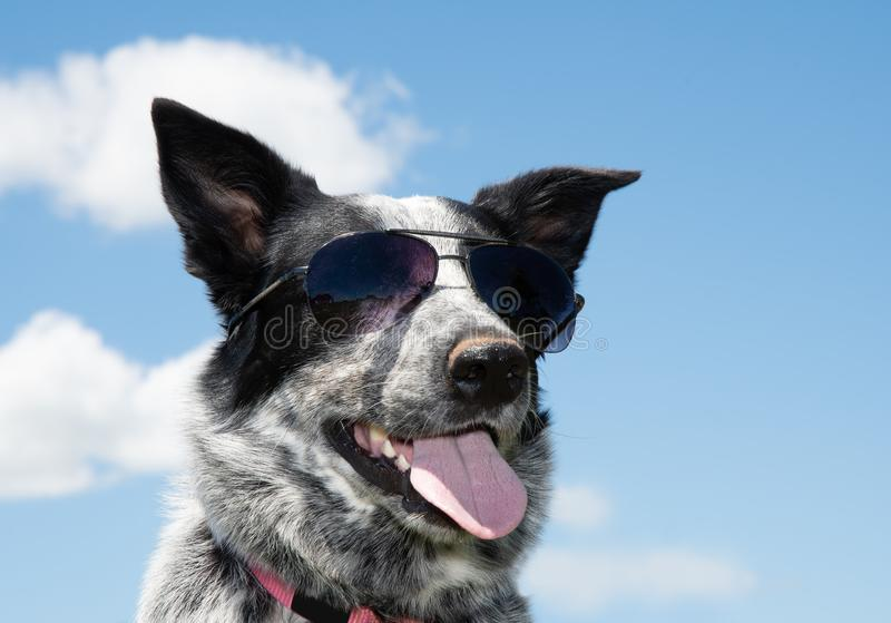 Black and white spotted Texas Heeler wearing sunglasses. The coolest dog on the block; with sky background royalty free stock photos