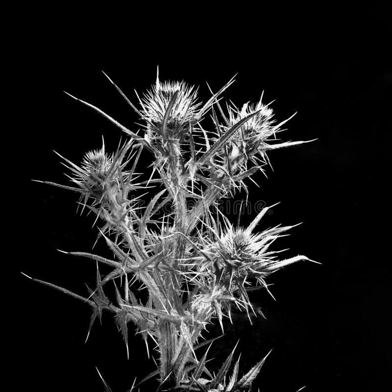 Black and white still life of dried thistle plant silhouetted against a black background stock photography