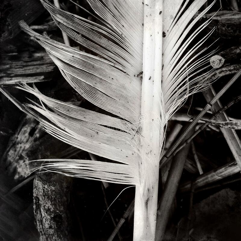 Black and white still life of a single bird feather on a background of vegetation stock photos