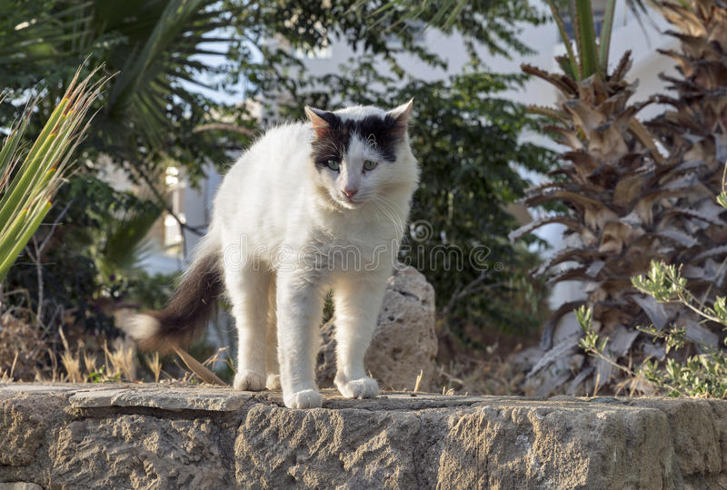 Black and white street cat on the wall. Beautiful black and white street cat closeup on the wall in Cyprus stock image