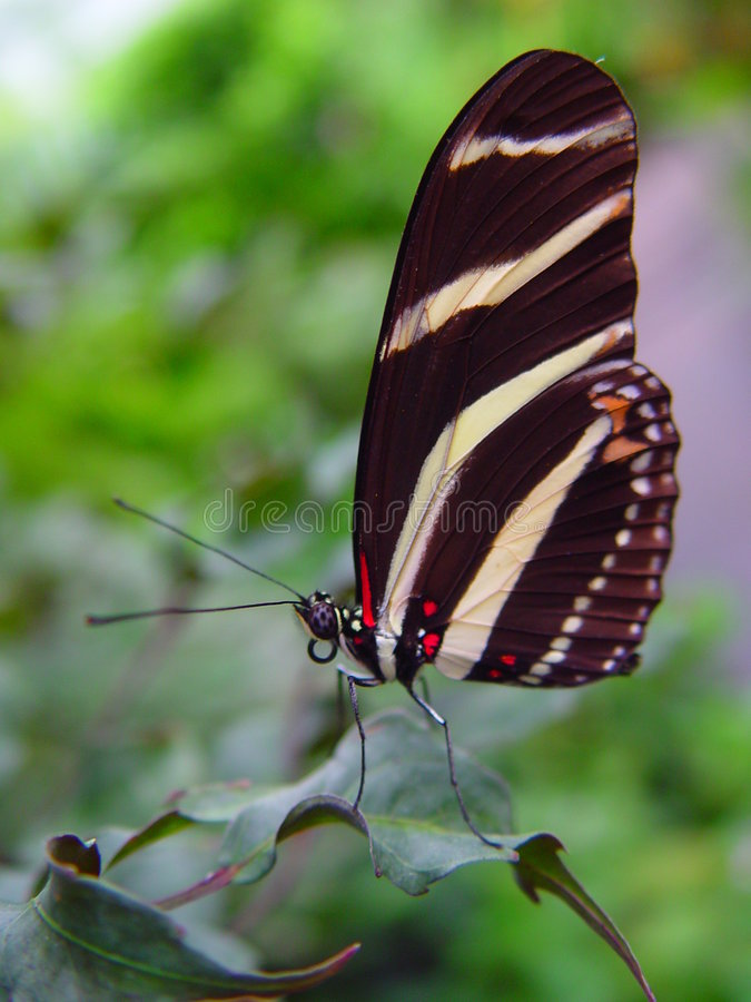Black and white striped butterfly royalty free stock photo