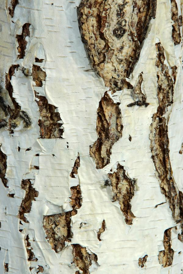 Black-white striped and cracked natural texture of russian birch bark stock images