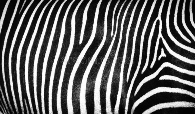 Black and white striped texture of wild zebra skin royalty free stock image