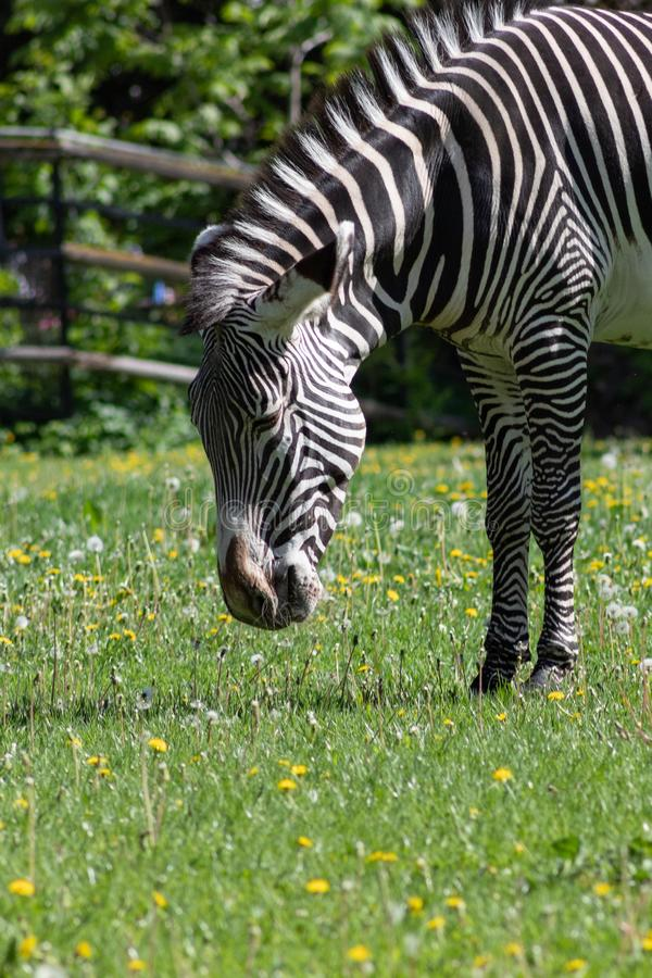 Black and white striped Zebra grazing on a green meadow with dandelions in the Moscow zoo stock photography