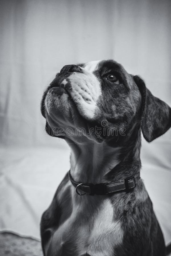 Black and white image of a beautiful Boxer puppy royalty free stock images
