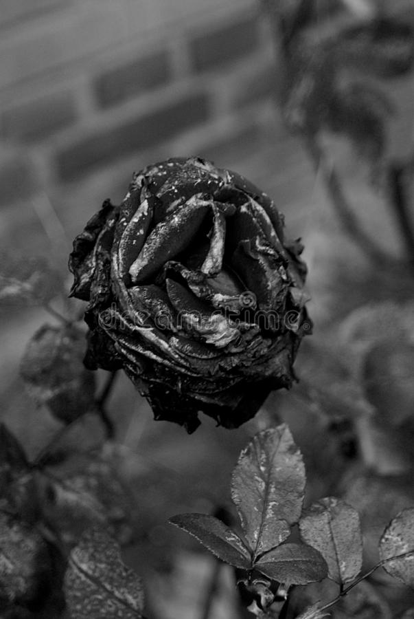 Black and white study- rose flowers abd rose plants stock image