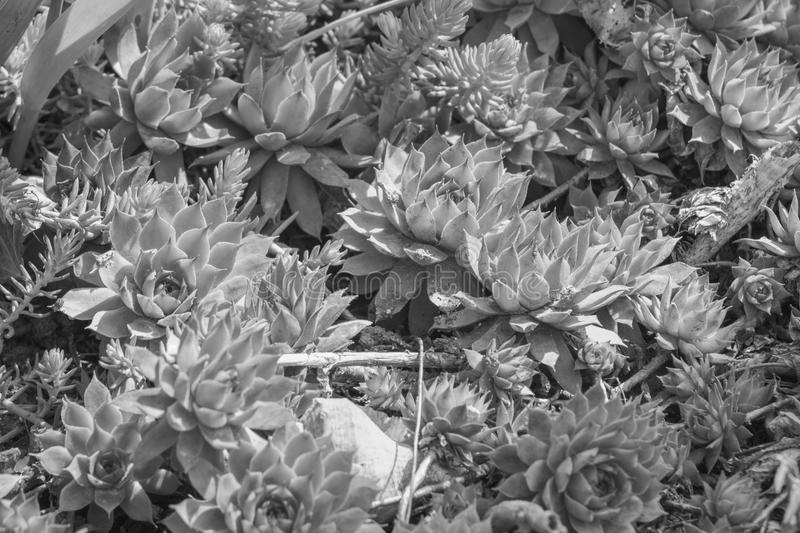 Black and white succulents. In the rays of the summer sun royalty free stock photo