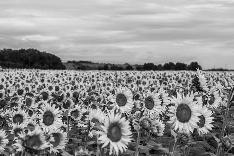 Download black and white sunflower field stock image image of sunflower sunflowers 105498335