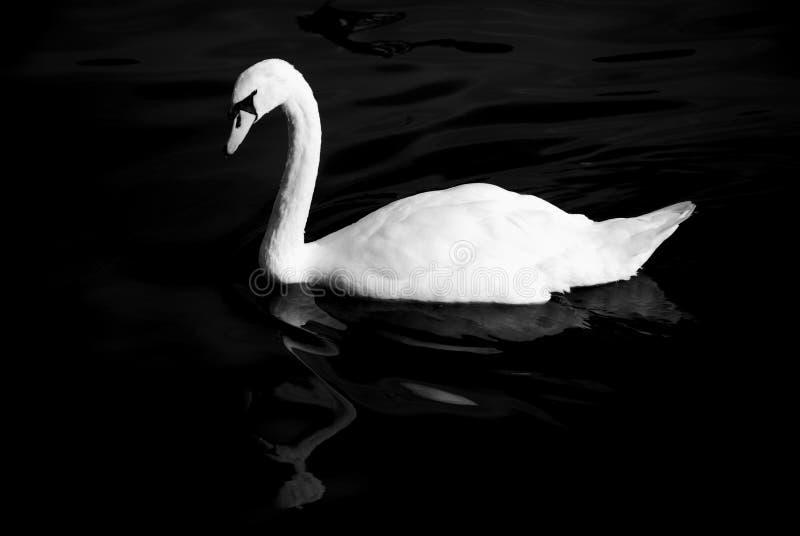 Download Black and white swan stock image. Image of elegant, swan - 33459479