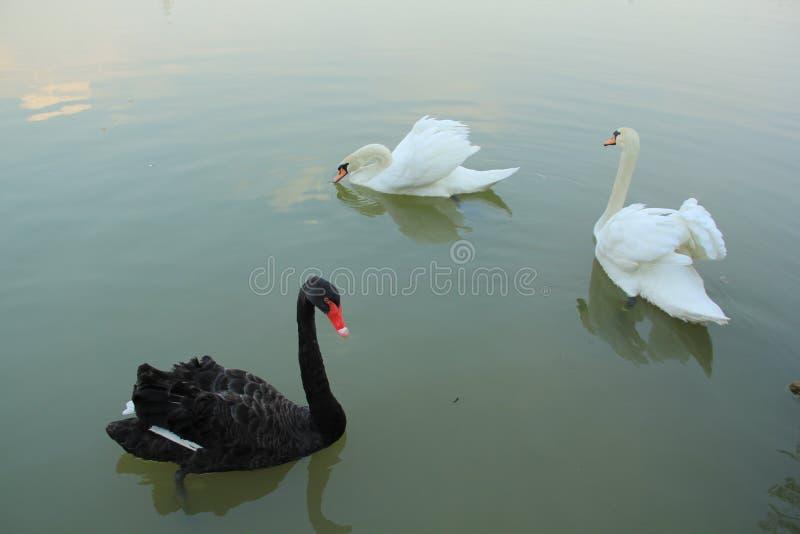 Black and White Swans stock photos