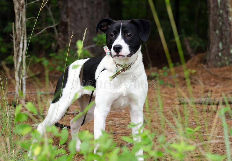 Black and white terrier mixed breed dog. Walton County Animal Control, humane society adoption photo, outdoor pet photography stock image