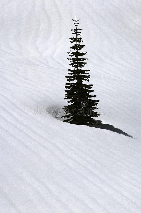 Shadowed snow ripples surround a spruce tree in winter. Black and white textured snow ripples surround a spruce tree in winter at Lassen National Park in royalty free stock image