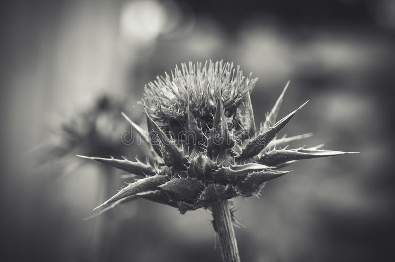 Black and white thistle flower closeup stock image image of multi black and white photo of a thistle flower closeup mightylinksfo