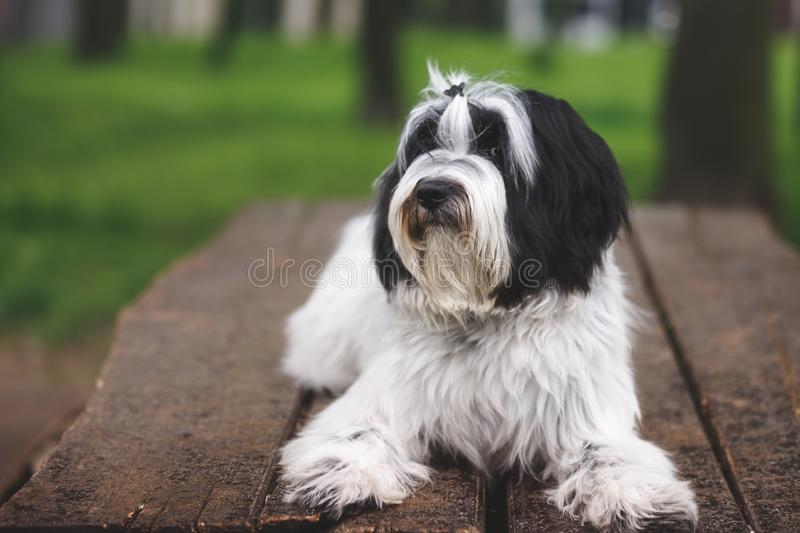 Black and white Tibetan terrier dog relaxing outdoor. Black and white Tibetan terrier or Tsang Apso, Dokhi Apso dog relaxing outdoor . Nine months old puppy stock photography