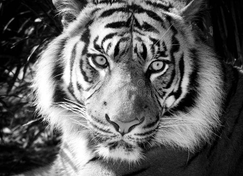 Black and white tiger royalty free stock image